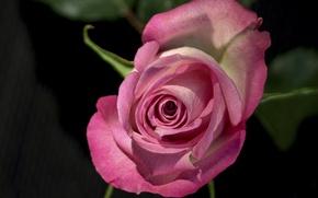 Обои роза, бутон, макро