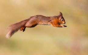 Картинка прыжок, белка, рыжая, полёт