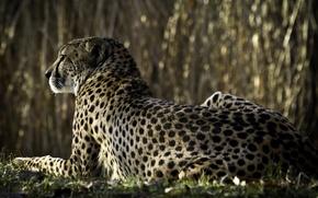 Обои гепард, смотрит, спиной