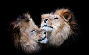 Картинка звери, фон, львы