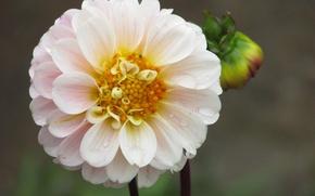 Картинка белый, цветы, бутон, flower, Георгин, wite
