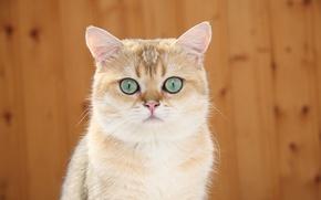 Обои кошка, кот, кошак, настороже, котяра