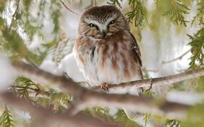 Картинка ветки, природа, дерево, сова, птица