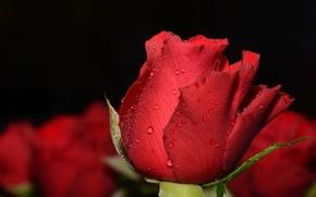 Картинка капли, макро, фон, бутон, красная роза, боке