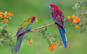 Обои пара, птицы, ветка, попугай