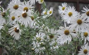 Картинка белый, цветы, ромашки
