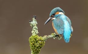 Картинка птица, мох, ветка, зимородок