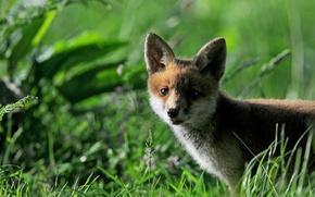 Картинка трава, лиса, лисёнок