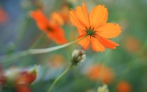 Обои цветы, оранжевые, цветок, космея, фон