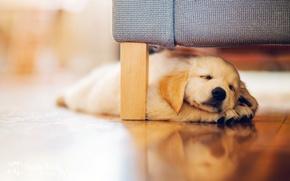 Картинка собака, щенок, ретривер