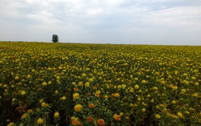 Картинка поле, небо, цветы, желтый, дерево, Сафлор