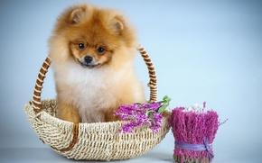 Картинка цветы, щенок, шпиц