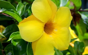 Картинка flowers, hawaii, yellow, green