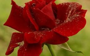 Картинка капли, Роза, red, rose, красная, боке, drops, boke