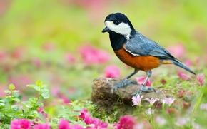 Картинка зелень, трава, листья, цветы, природа, птица, камень, розовые, Японская синица, Тиссовая синица