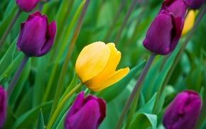Обои листья, цветы, природа, весна, лепестки, тюльпаны, бутоны