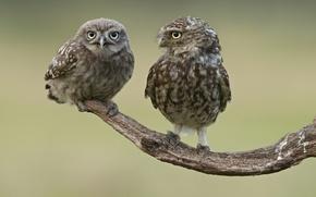 Картинка птицы, две, ветка, совы
