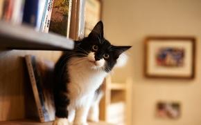 Картинка взгляд, дом, комната, черно-белый, пушистый, Кот