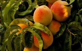 Обои food, plants, fruits, leaves, healthy, trees, peaches, nature