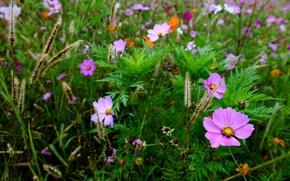 Обои поле, трава, макро, размытость, колоски, цветочки, Космея