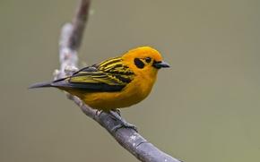 Картинка птица, ветка, bird, branch, tangará dourado, golden tanager, Тангара Артюс, tangara arthus, золотой танагра