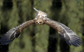 Картинка птица, полёт, Tawny Eagle