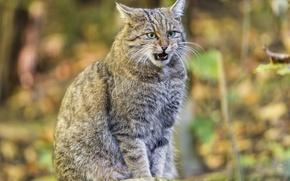 Картинка кошка, лесной кот, дикий кот, ©Tambako The Jaguar