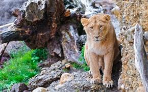 Картинка усы, взгляд, морда, скала, камни, пень, лев, lion, panthera leo
