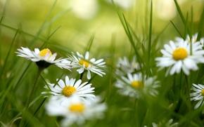 Картинка трава, цветы, ромашки