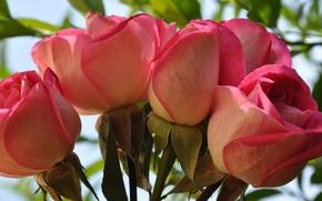 Картинка бутон, макро, лепестки, розы, букет