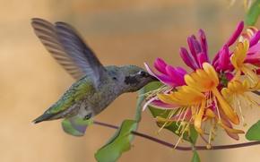 Обои цветок, Калипта Анны, колибри, жимолость, птица