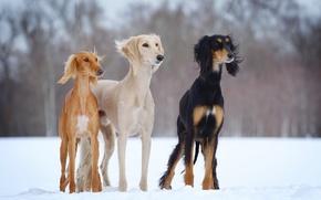 Картинка зима, собаки, снег, open-air, slider, салюки, dogs-h