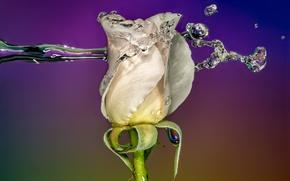 Картинка rose, water, macro, splash