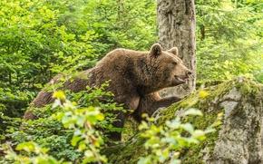 Картинка лес, лето, заросли, камень, мох, бурый медведь