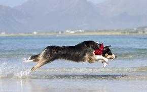 Картинка вода, брызги, прыжок, берег, игра, волна, собака, бег, пёс