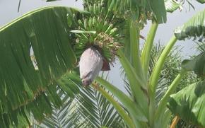 Картинка зелень, листья, плоды, бананы, экзотика, цветок и завязи бананов, банановая пальма
