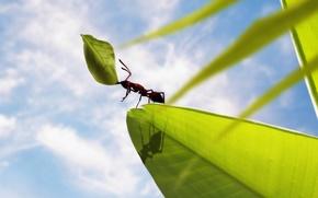 Картинка листья, муравей, держит