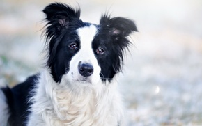 Картинка взгляд, портрет, собака, светлый фон, боке, бордер-колли, обои от lolita777