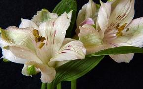 Картинка капли, макро, белые, macro, drops, Лилии, lilies