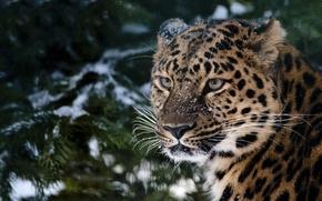 Обои леопард, взгляд, ель, снег