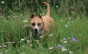 Обои цветы, собака, отдых, собаки, прогулка, настроение, стафортшиский терьер, лето