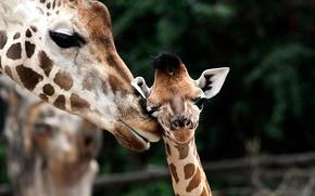 Картинка жираф, детеныш, Giraffa camelopardalis