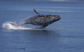 Обои Аляска, океан, горбатый кит, вода, кайра, длиннорукий полосатик, птица, горбач