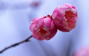 Картинка макро, цветы, веточка, фон, дерево, голубой, лепестки, размытость, розовые, Слива