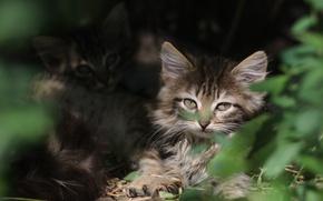 Картинка зелень, глаза, мордочка, котята, убежище