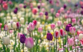 Обои краски, парк, лепестки, луг, сад, весна, тюльпаны