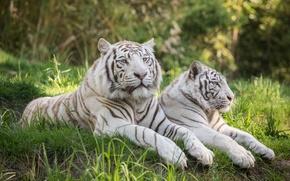 Картинка трава, кошки, отдых, пара, белый тигр