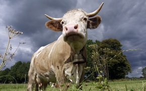 Картинка природа, корова, колокольчик