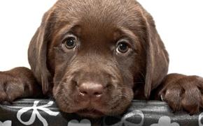 Картинка собака, щенок, лабрадор