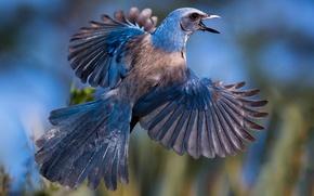 Обои перья, хвост, крылья, Голубая кустарниковая сойка, птица, сойка